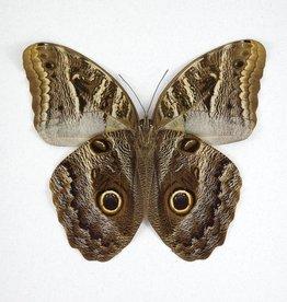 Caligo idomeneus idomenides / C. eurilochus / C. teucer MIX M A1 Peru