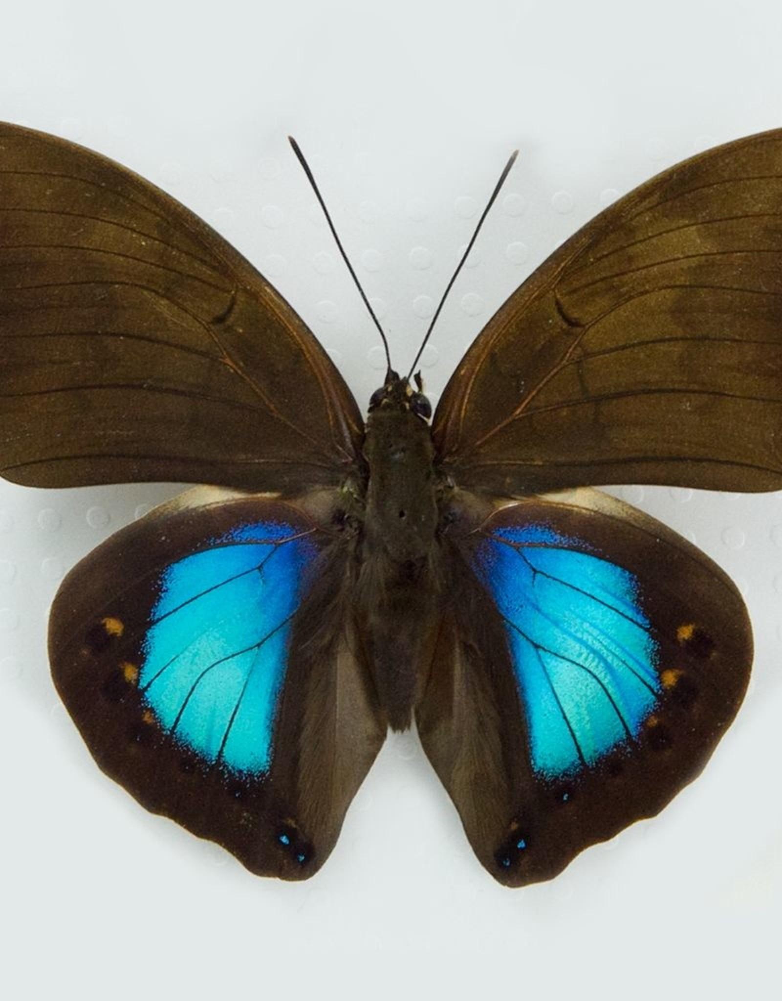 Prepona (Norepa) chromus M A1 Peru