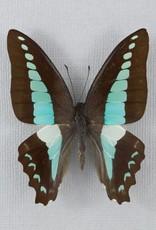 Graphium sarpedon colus M A1 Philippines