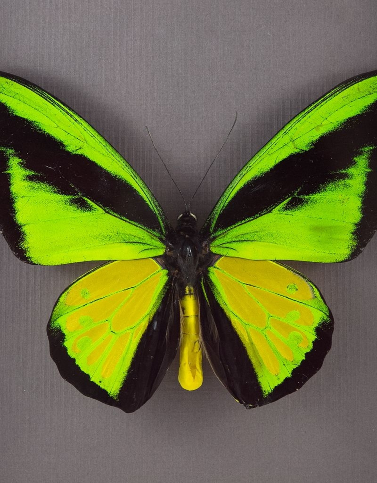 Ornithoptera goliath procus M A1 Indonesia