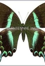 Papilio blumei fruhstoferi F A1 Indonesia