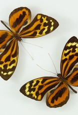 Tithorea harmonia egaensis M A1 Peru