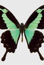 Papilio phorcas M A1 CAR