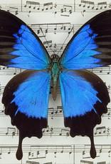 Papilio ulysses autolycus M A1 Papua New Guinea