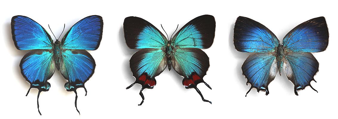 Lycanidae