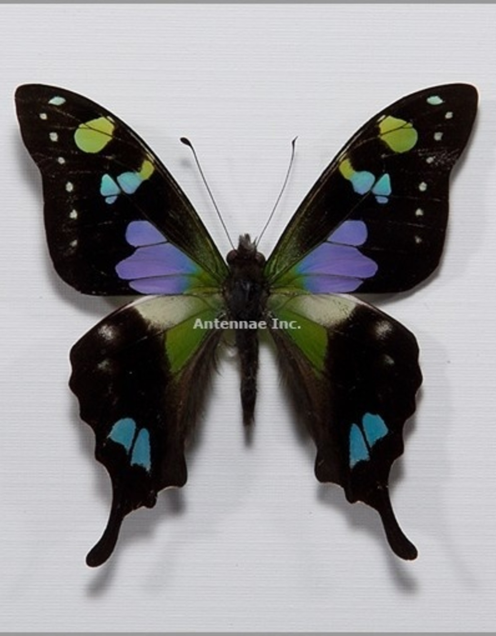 Graphium weiskei M A1/A1- Indonesia