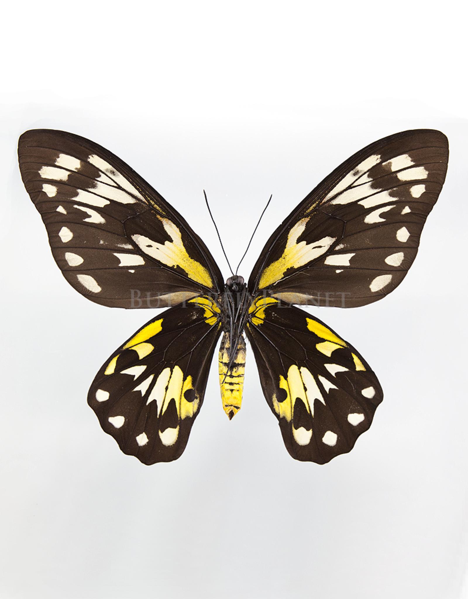 Ornithoptera victoriae regis F A1/A1- PNG