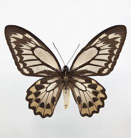 Ornithoptera croesus lydius F A1 Indonesia