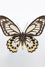 Ornithoptera croesus lydius PAIR A1 Indonesia