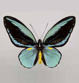 Ornithoptera aesacus PAIR A1 Indonesia