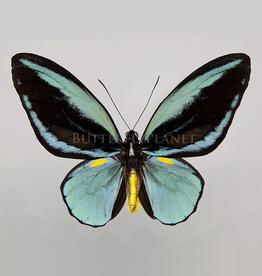 Ornithoptera aesacus PAIR A1 Obi Island, Indonesia