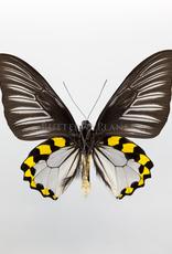 Troides hypolitus hypolitus M A1 Indonesia