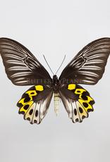 Troides hypolitus hypolitus F A1 Indonesia