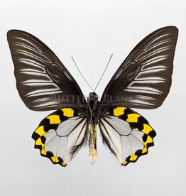 Troides hypolitus hypolitus PAIR A1/A1- Indonesia