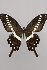 Papilio lormieri M A1 CAR