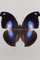 Napeocles jucunda M A1 UHV, Peru