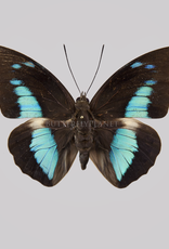 Prepona (Archeoprepona) camilla M A1 Peru