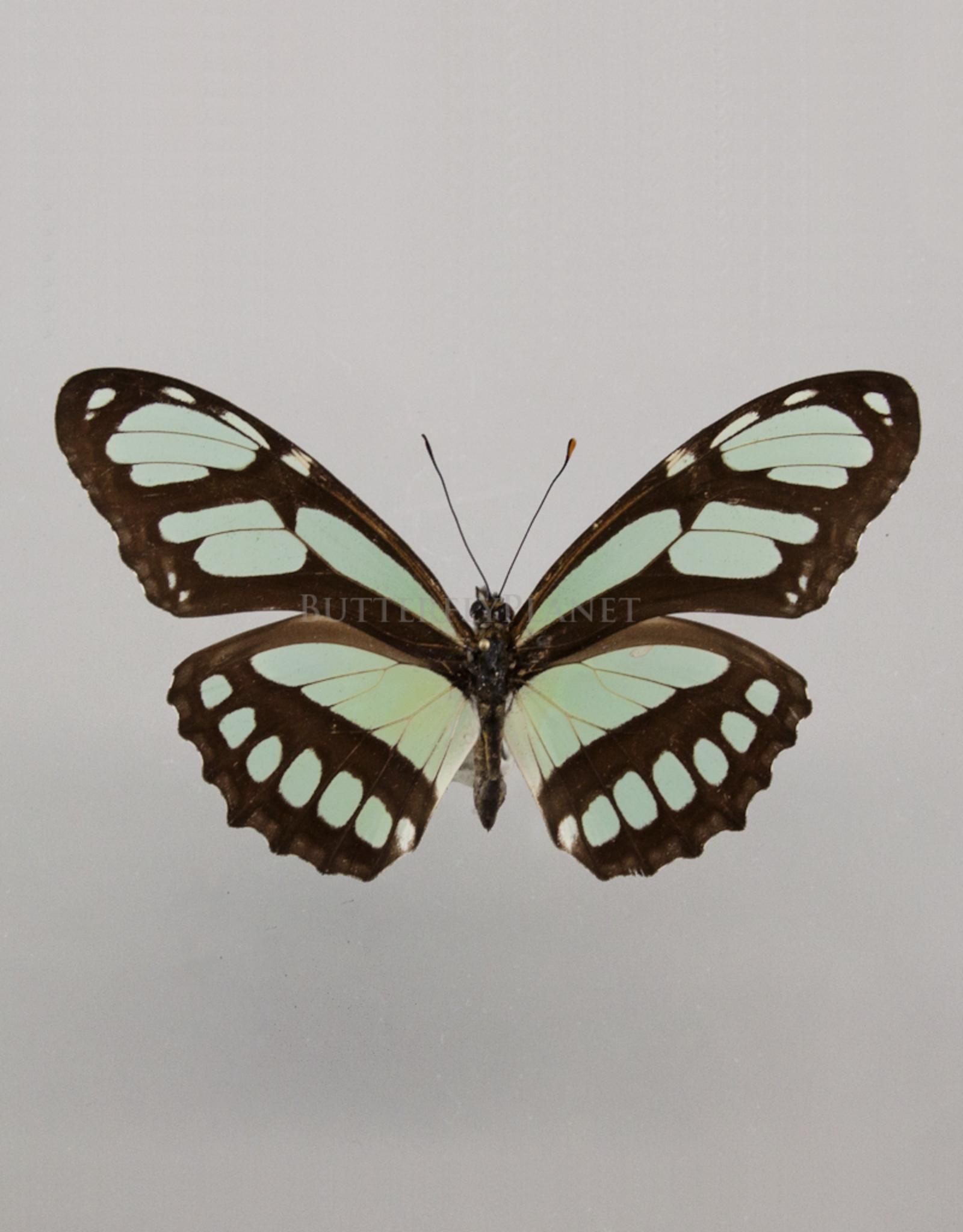 Philaethria (Metamorpha) dido M A1 Peru