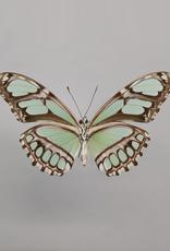 Philaethria (Metamorpha) dido M A1 UHV, Peru