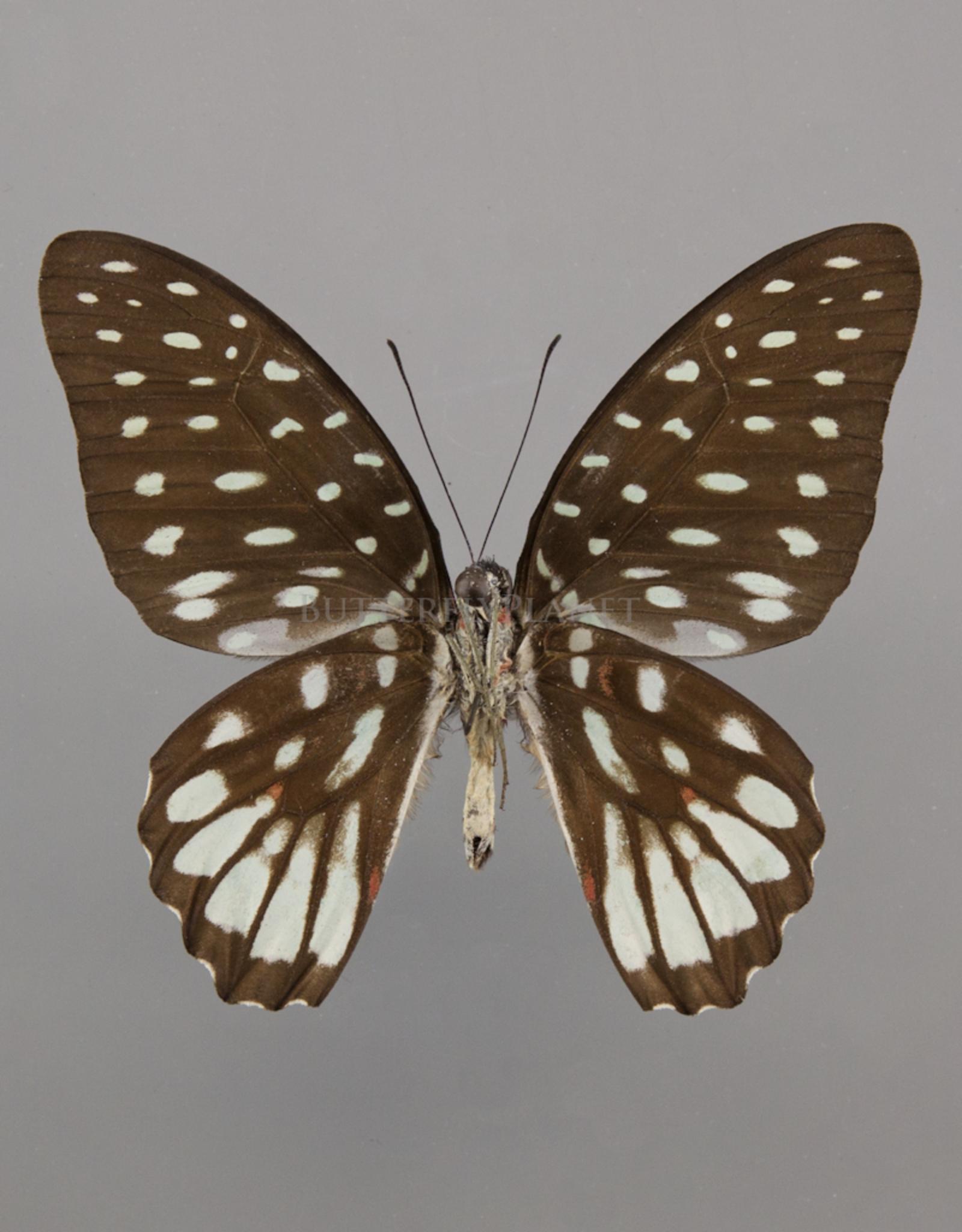 Graphium meeki inexpectatum M A1- PNG