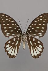 Graphium meeki inexpectatum M A1/A1- PNG