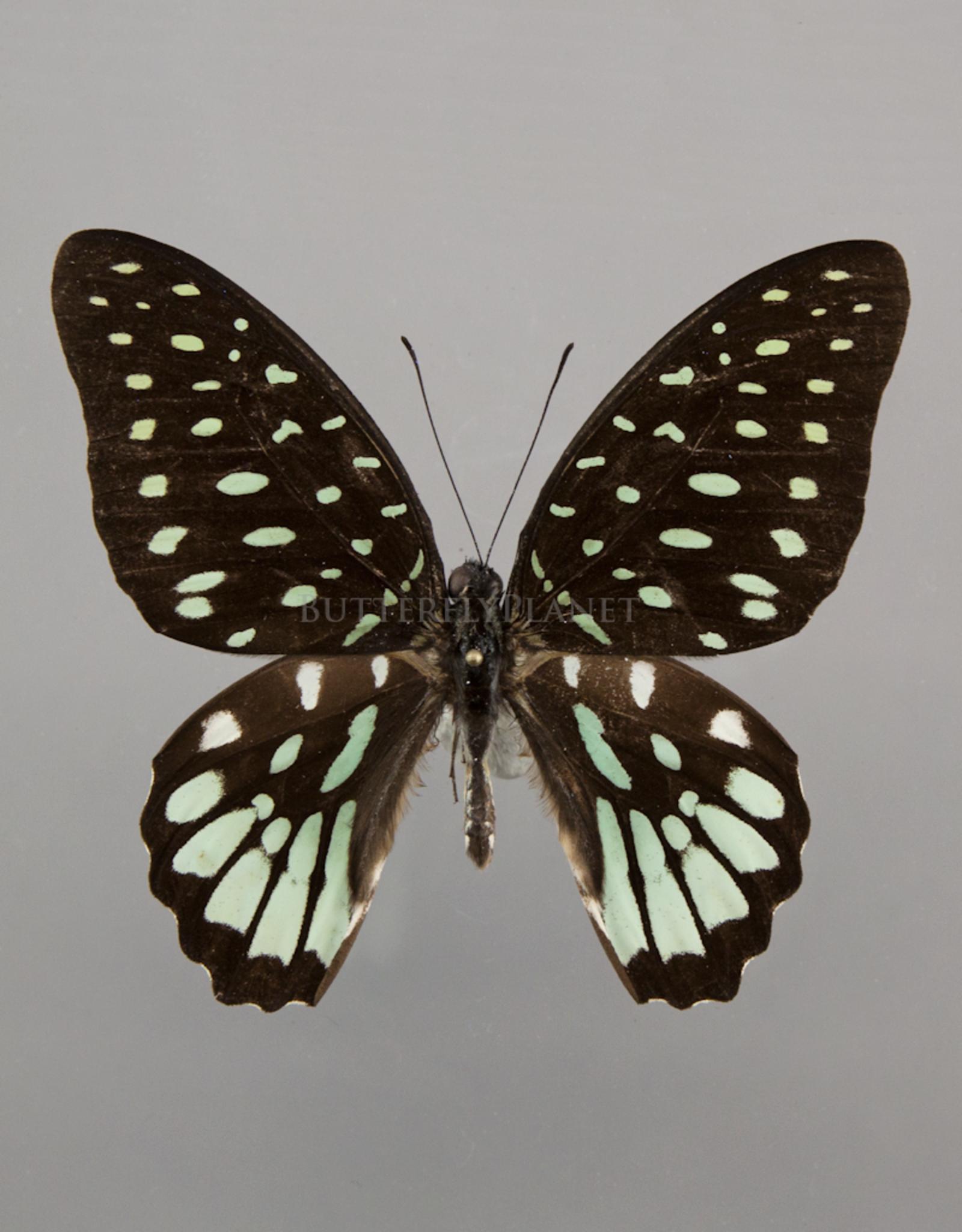Graphium meeki inexpectatum M A2 PNG