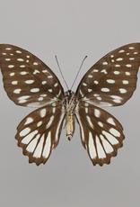 Graphium meeki inexpectatum F A1/A1- PNG
