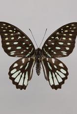 Graphium meeki inexpectatum F A1- PNG