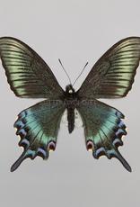 Papilio maackii maackii (Spring form) M A1 China