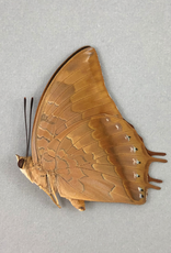 Charaxes amycus M A1 Philippines