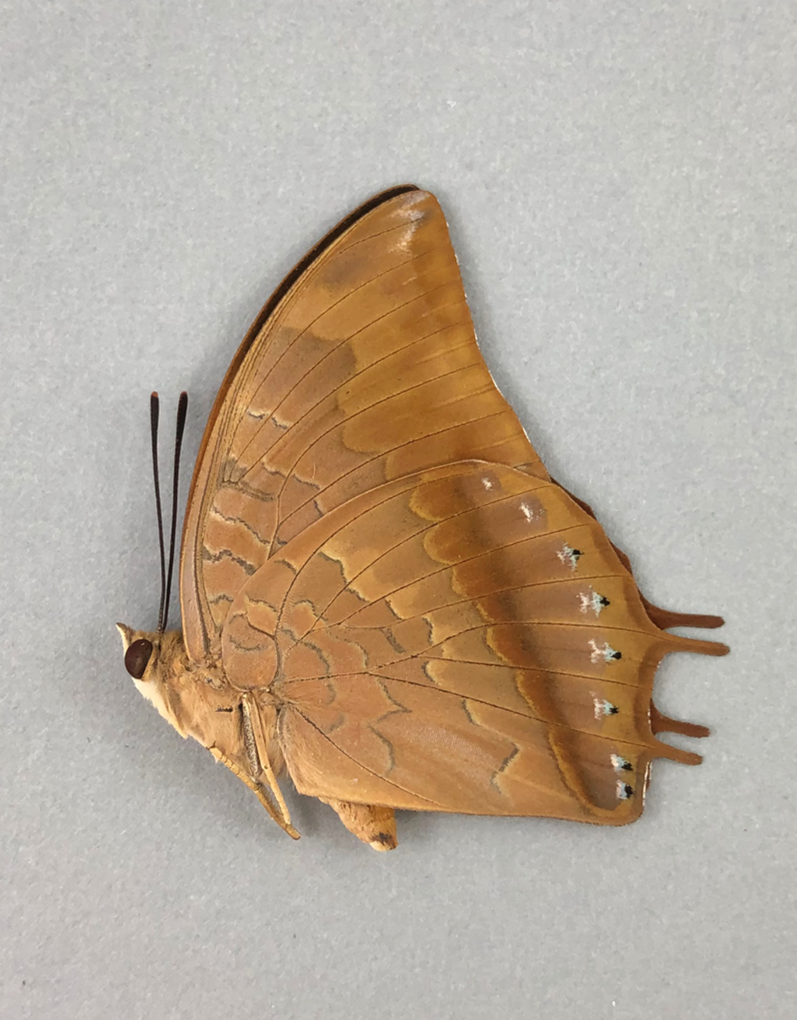 Charaxes amycus M A1- Philippines