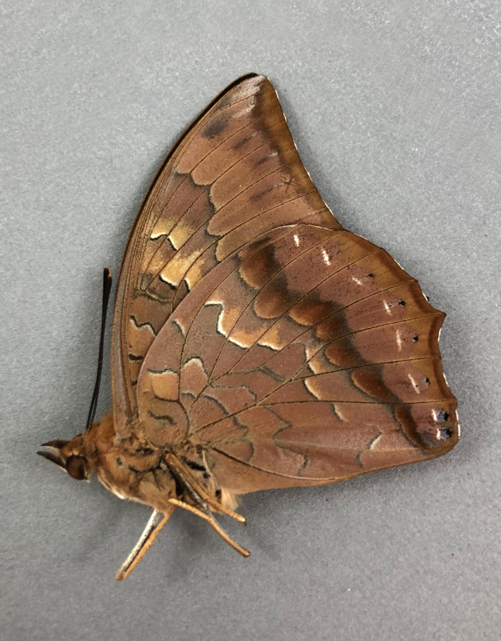 Charaxes bernardus f. hipponax M A1 Thailand