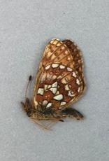 Boloria eunomia triclaris M A1 Canada