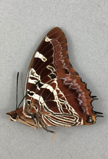 Charaxes eudoxus M A1 CAR