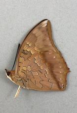 Charaxes bernardus f. pleistonax M A1 Thailand