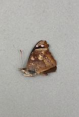 Cybdelis boliviana M A1 Bolivia