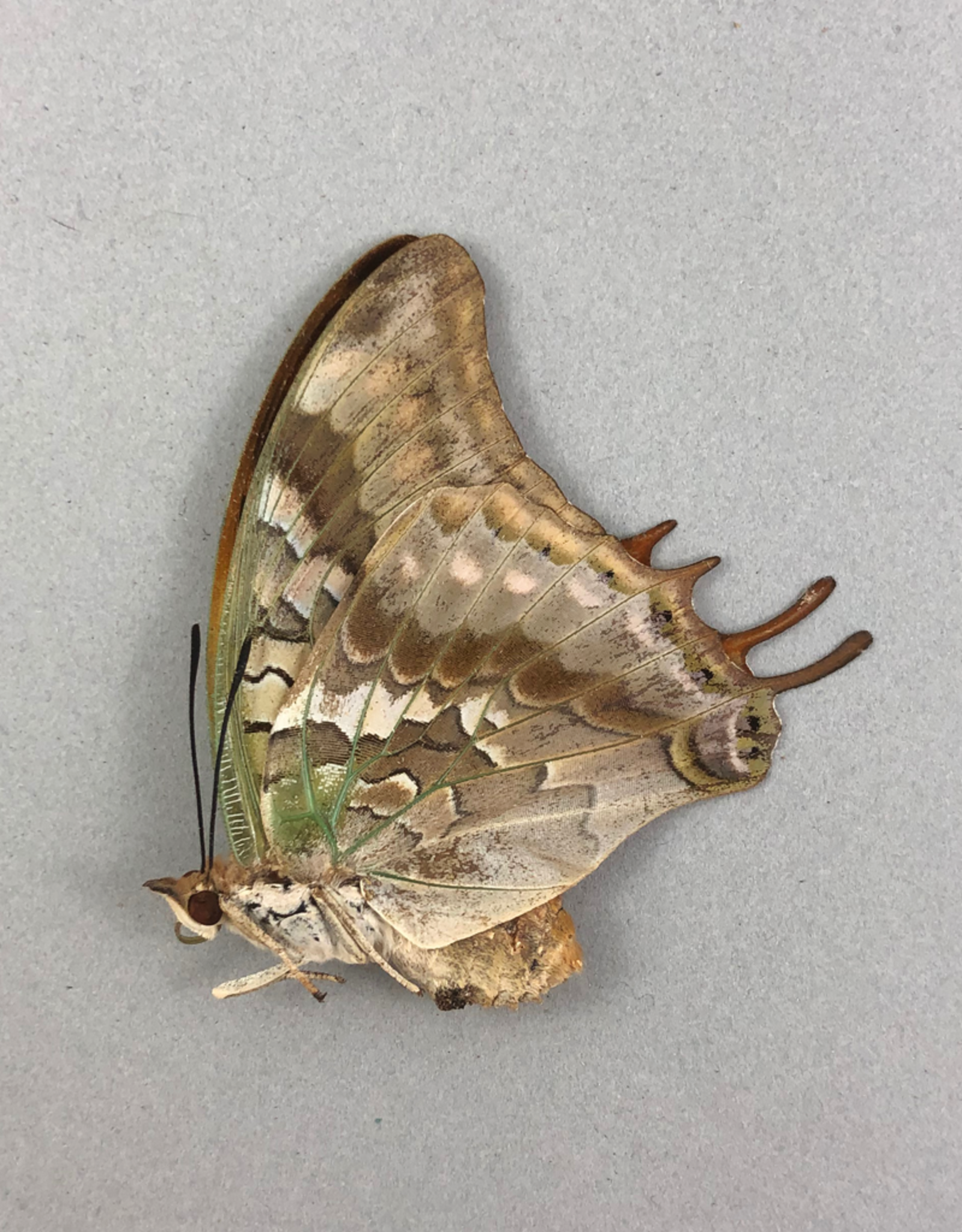 Charaxes candiope F A1 CAR