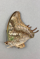 Charaxes candiope F A1/A1- CAR