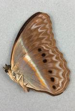 Cirrochroa regina M A1 /A1- Indonesia