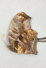 Consul (Anaea) fabius butteri = drurii M A1 Peru