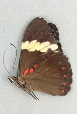 Hamadryas arinome ariensis F A1 Bolivia