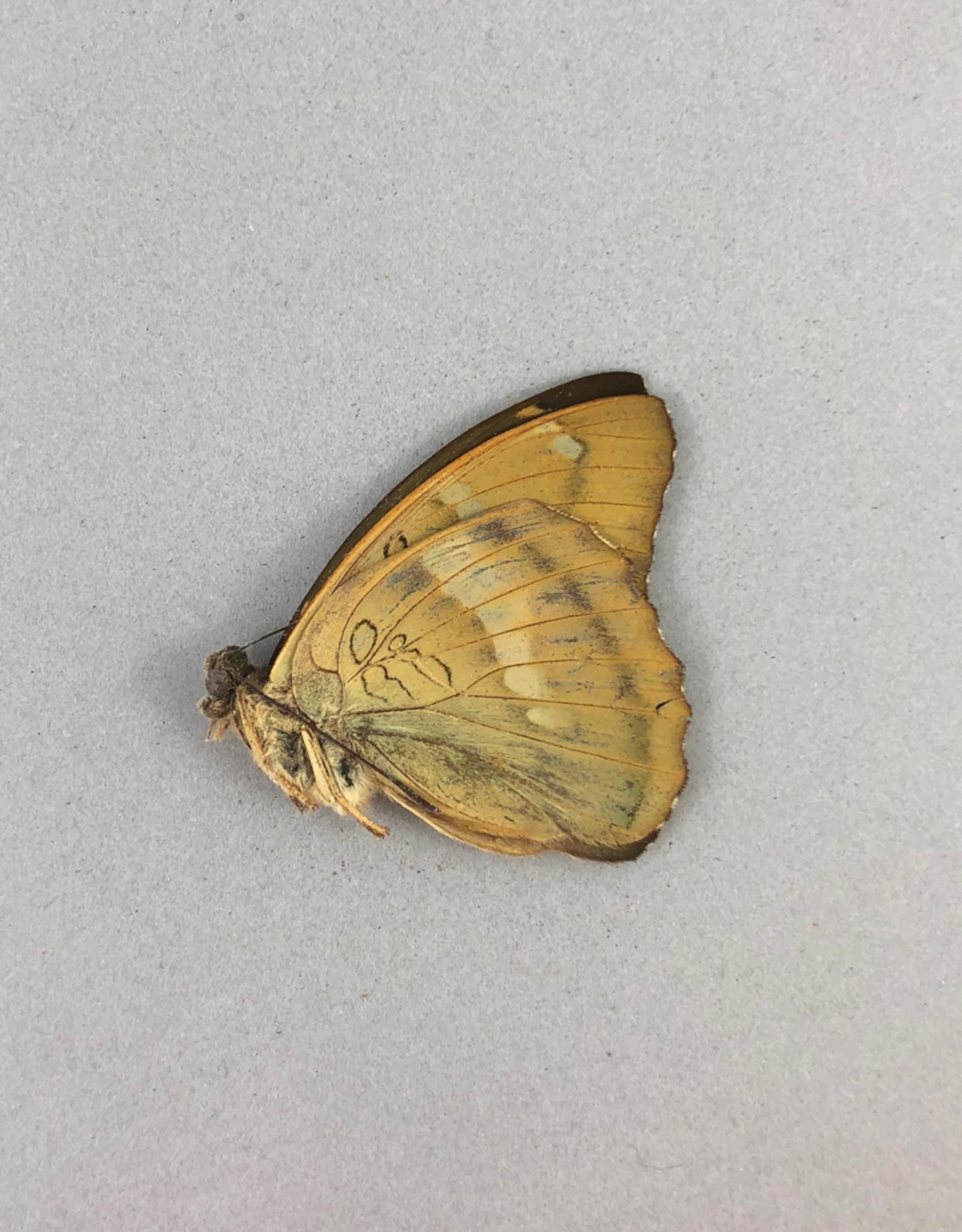 Euthalia khana M A1 China