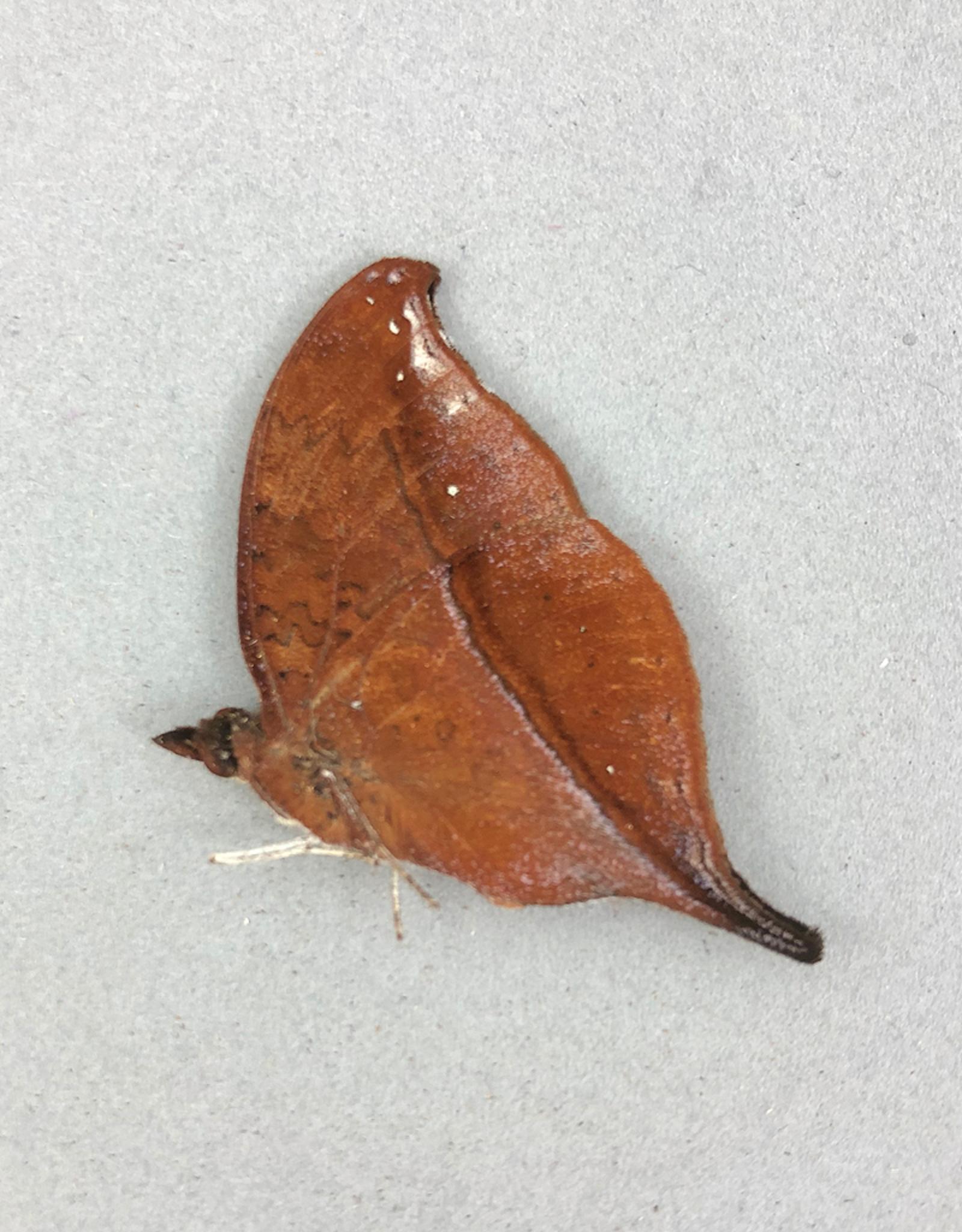 Junonia eurodoce M A1 Madagascar