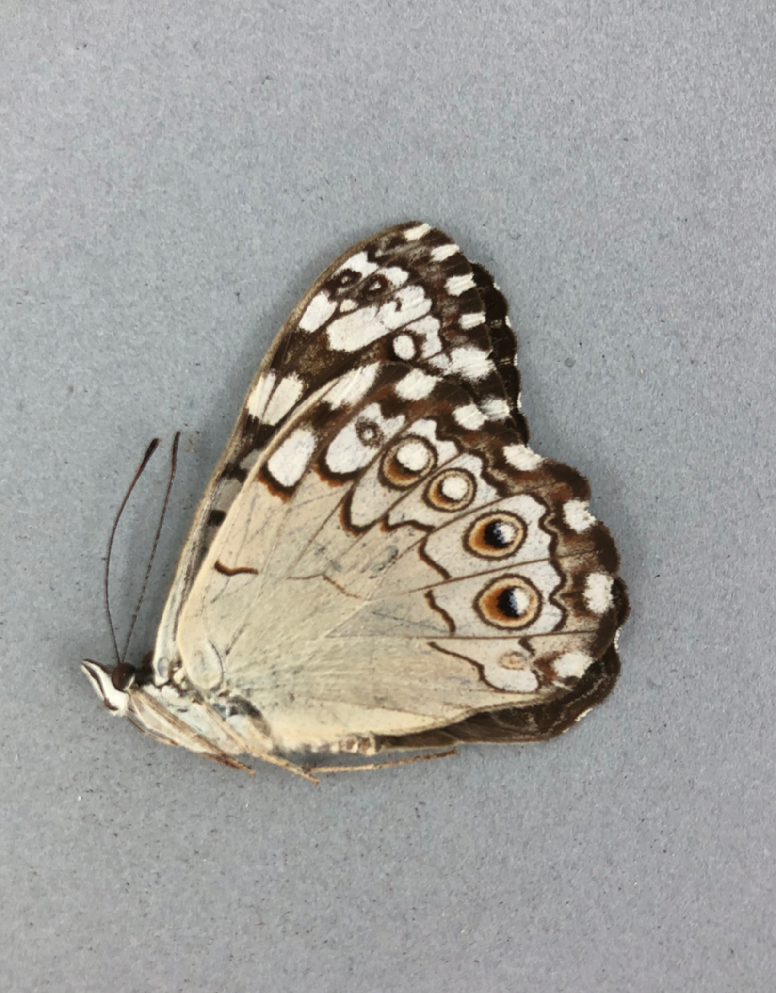 Hamadryas feronia M A1 Ecuador