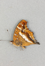 Junonia andremiaja M A1 Madagascar
