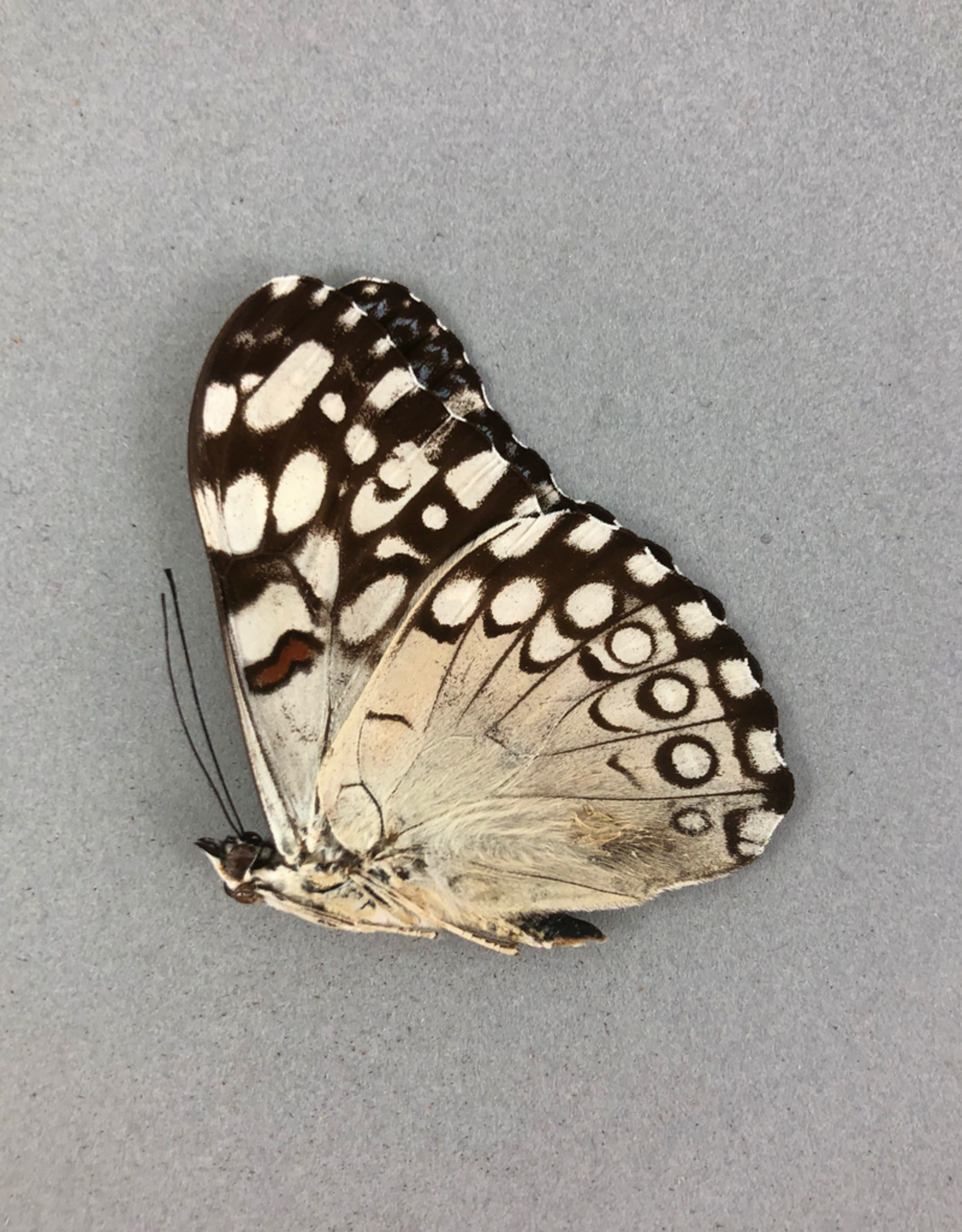 Hamadryas guatemalena ssp? M A1 Peru