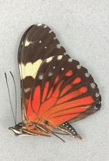 Hamadryas amphinone fumosa M A1 Bolivia