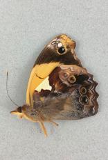 Epiphile lampethusa lampethusa M A1 Peru
