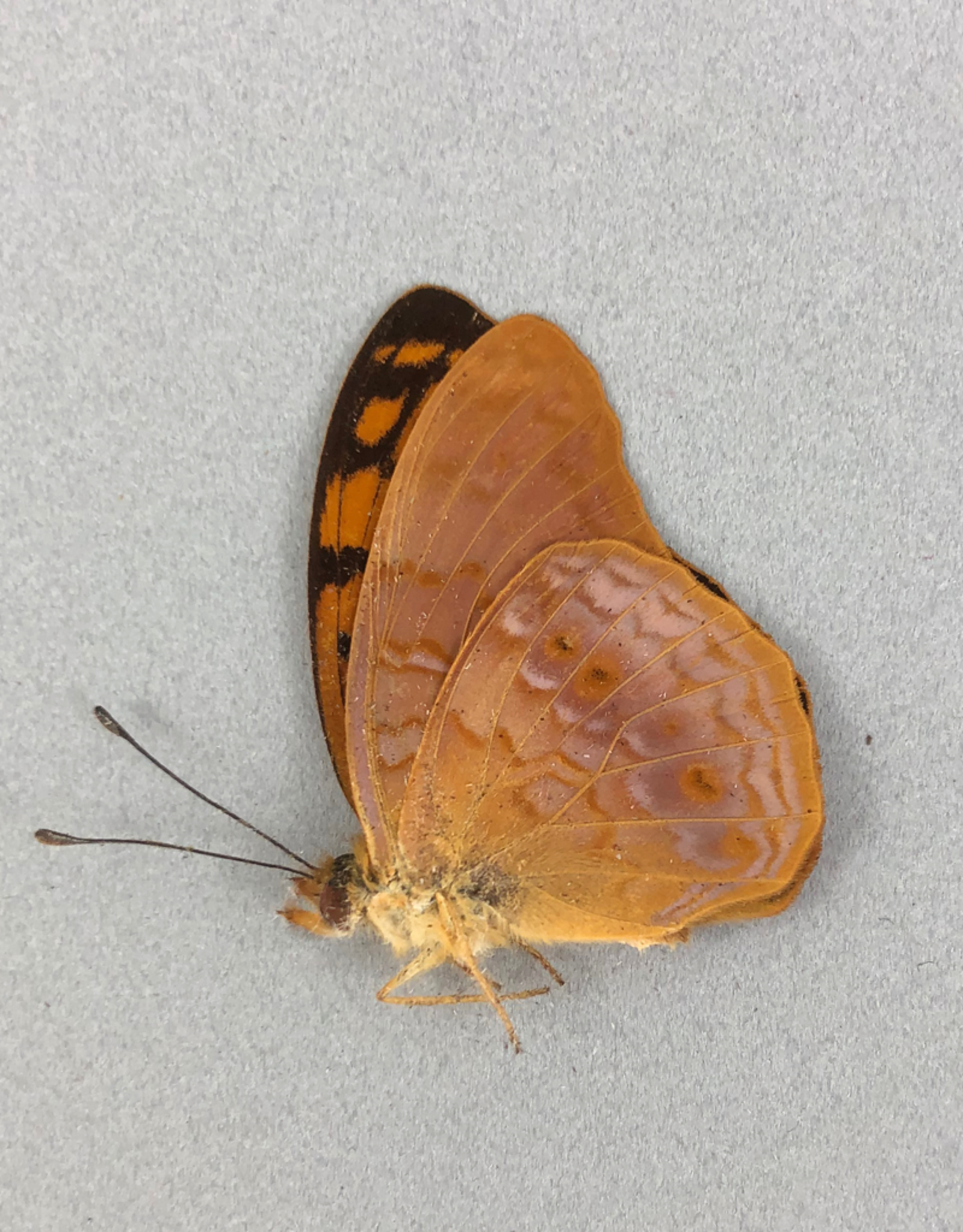 Phalanta aethiopica M A1 Madagascar