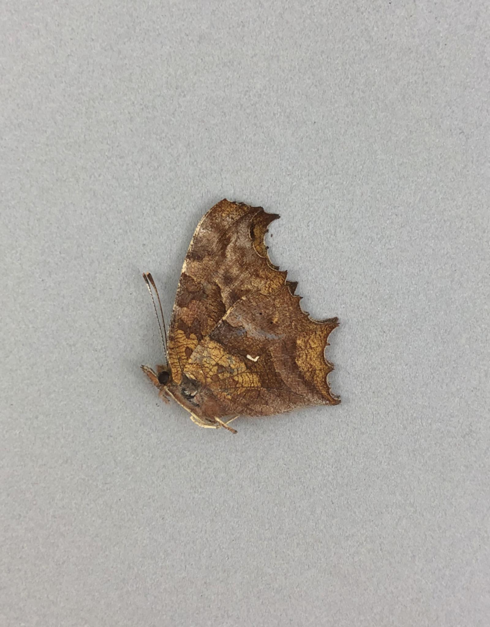Polygonia c-aureum F A1 South Korea